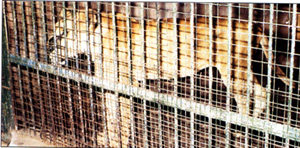 Caged Lion in Enugu Zoo
