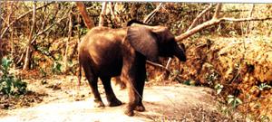 A wild African Elephant in Enugu Zoo