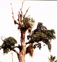 Iroko tree planted in 1150, Akure