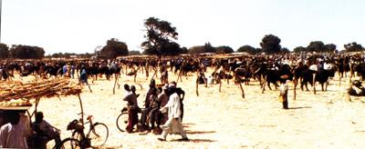 Cattle Market, Potiskum