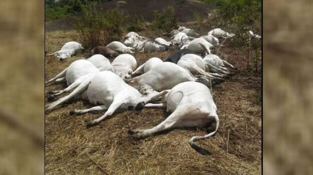 50 Cows Die Mysteriously In Ondo Community