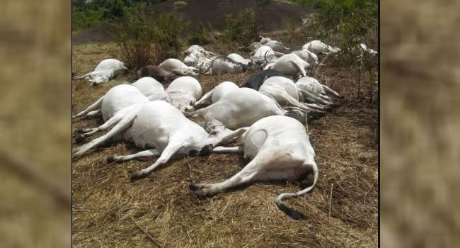 50 Cows Die Mysteriously In Ondo Community 1