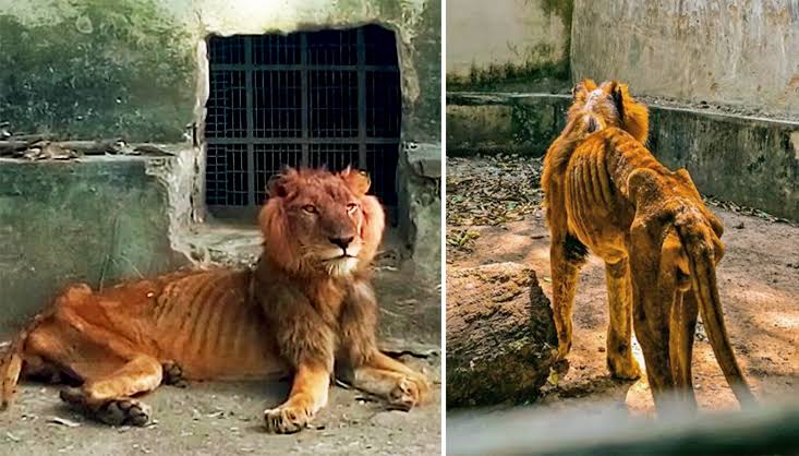 Lion Dies Of Starvation In Kaduna Zoo Two Weeks After Its Photos Went Viral On Social Media 1