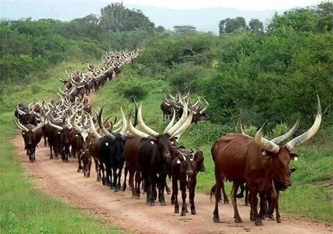 Ondo clamps down on Fulani cow herders