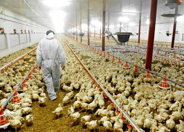 Bird Flu Breaks Out In Bauchi, 27,000 Birds Killed