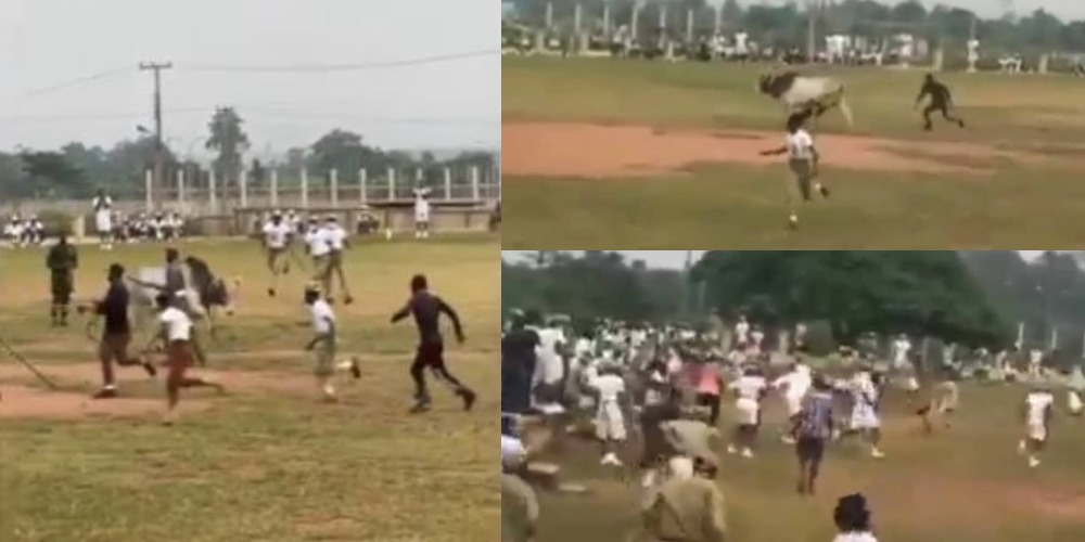 Corpers Scamper For Safety As Cow Invades NYSC Orientation Camp In Ogun [Video]