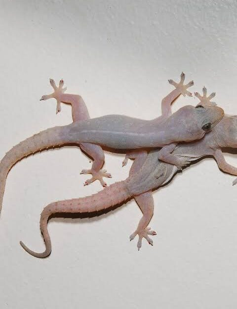 5 home remedies you should use to help get rid of wall gecko from your home