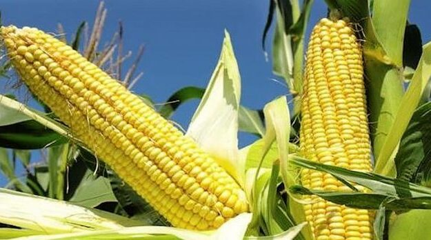 FG approves genetically modified maize for open cultivation